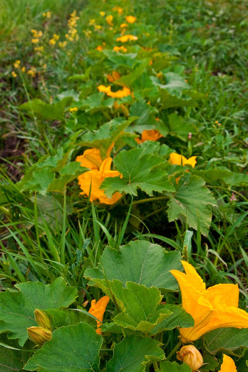 A vertical picture of a row of Cucurbita pepo plants growing in the garden, with large green foliage and orange flowers.
