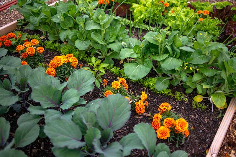 A raised garden bed, with rows of edible crops interplanted with bright orange marigolds.