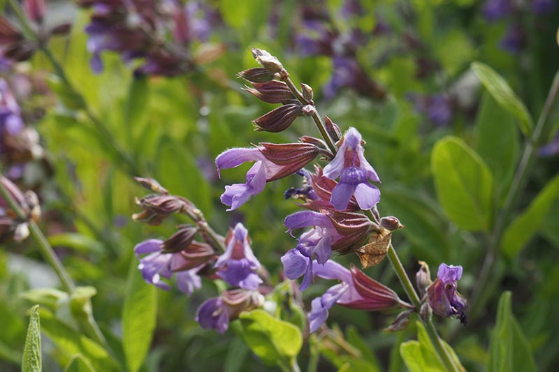 A close up of the purple flowers of sage growing in the summer garden in bright sunshine on a soft focus background.