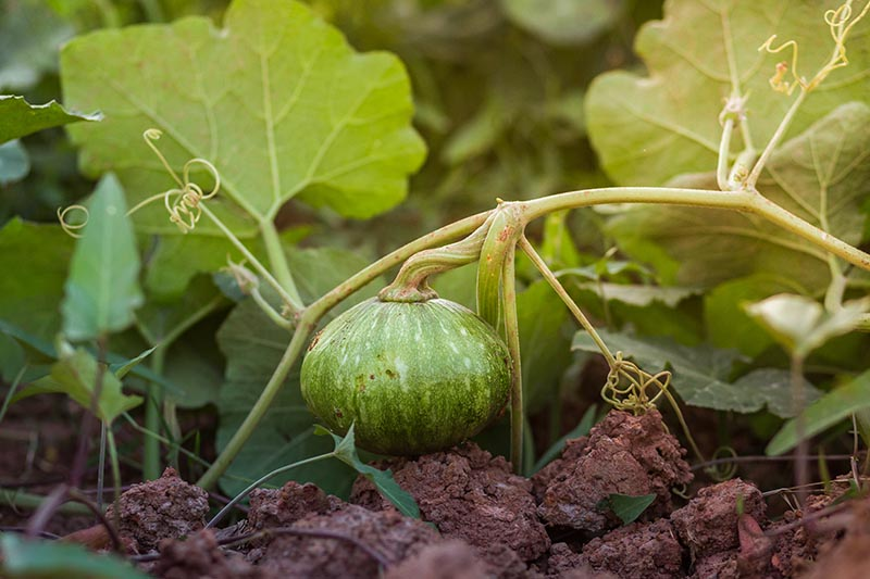 A close up of a tiny developing gourd on a vine growing in the garden, with soil and foliage in the background.