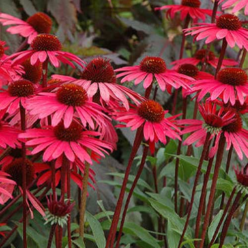 A close up of the delicate flowers of Echinacea purpurea 'Solar Flare' growing in the garden, on a soft focus background.