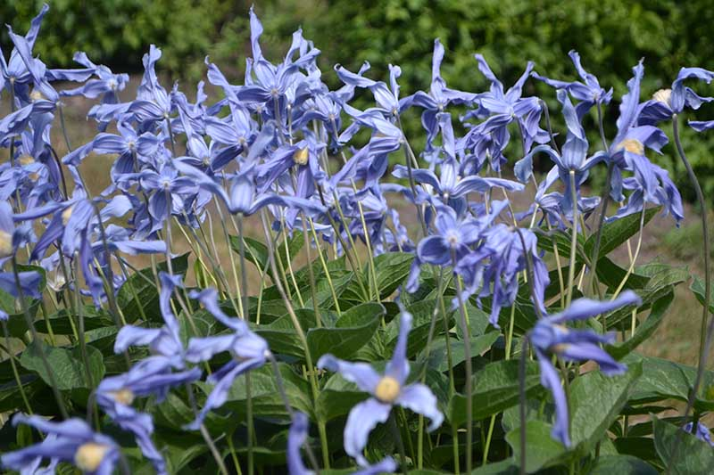 A close up of an abundance of blue flowers, with delicate petals and creamy white stamen. This herbaceous, non-vining clematis variety is 'Solitary.' In the background is a large hedge in soft focus.