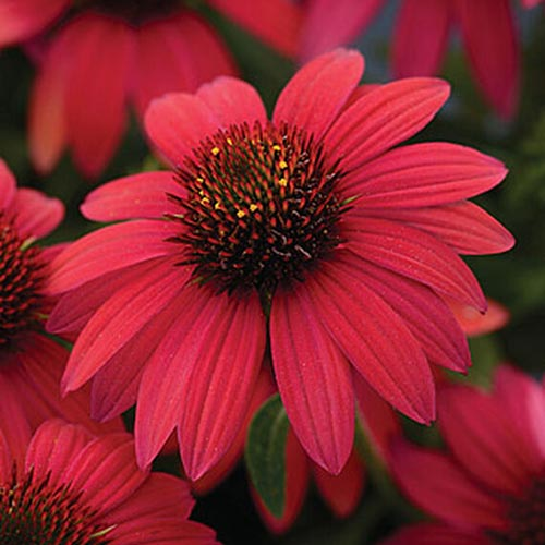 A close up of an Echinacea purpurea 'Sombrero Baja Burgundy' flower, pictured on a soft focus background.