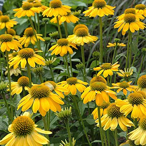 A close up of the yellow flowers of Echinacea purpurea 'Sombrero Lemon Yellow,' growing in the summer garden.