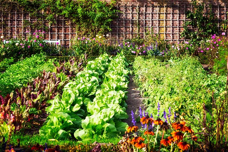 A vegetable garden with rows of produce growing in the sunshine with a brick wall and trellis in the background.