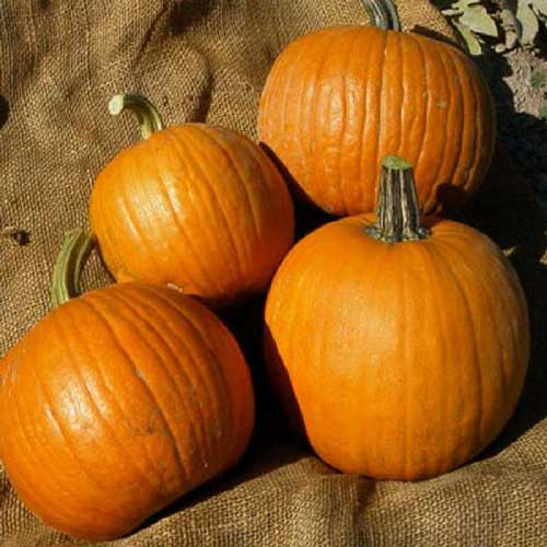 A close up of four small, orange 'Spookie' pumpkins set on a hessian cloth, pictured in light sunshine.