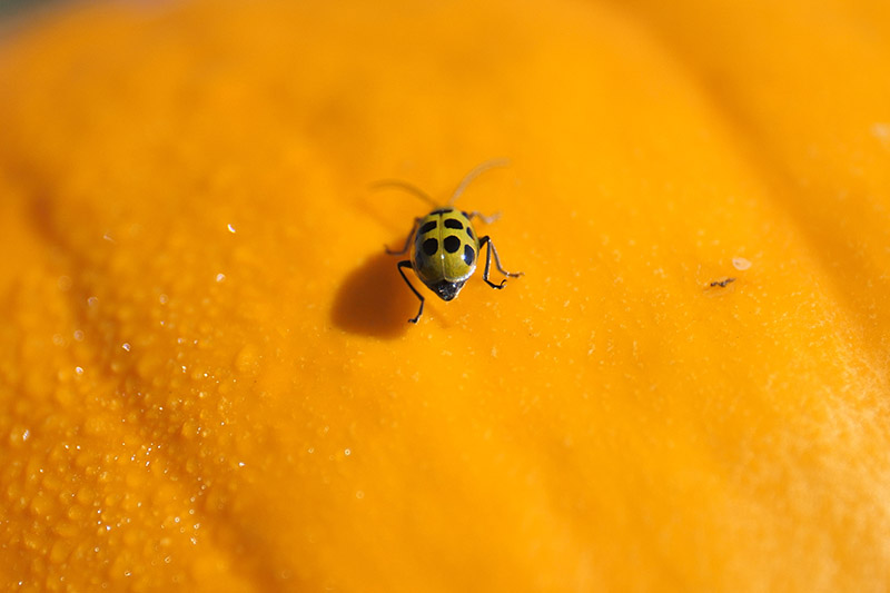A close up of a spotted cucumber beetle on an orange squash fruit, pictured in bright light.