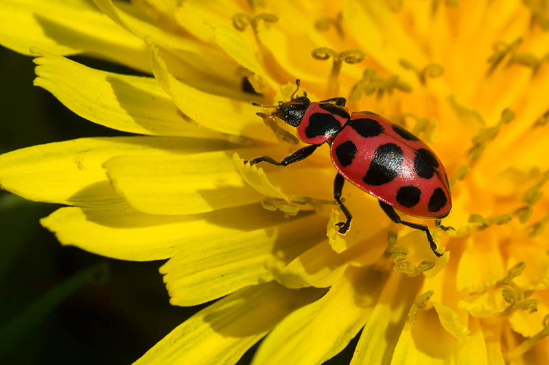 A close up of a spotted ladybug on a yellow flower, pictured in bright sunshine, on a dark soft focus background.