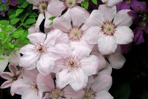 19 of the Best Summer Flowering Clematis for Your Garden