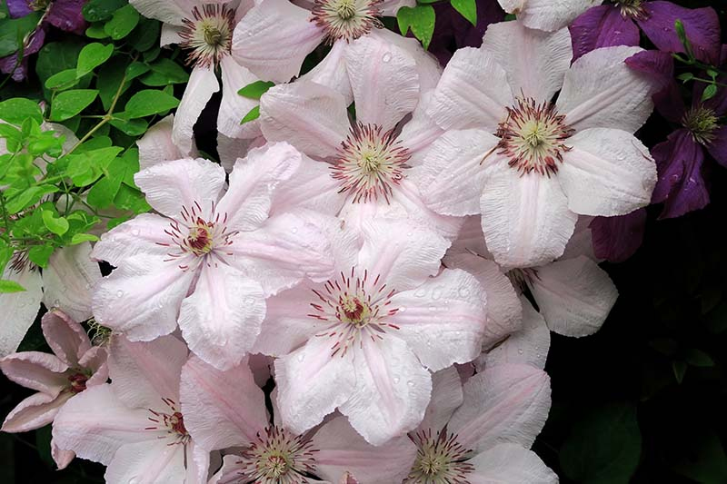 A close up of pink and white 'Pink Fantasy' flowers with contrasting dark pink center, growing in the garden, on a dark soft focus background.