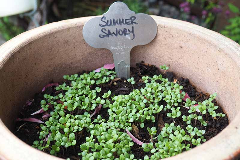 A close up of a terra cotta pot with small summer savory shoots and a little metal sign.