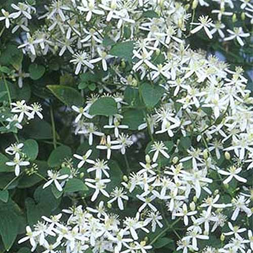 A close up of tiny white flowers surrounded by green foliage of the 'Sweet Autumn' clematis variety.