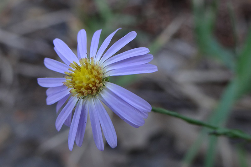 A close up of a Symphyotrichum oolentangiense flower with light purple petals and a yellow center, pictured on a soft focus background.