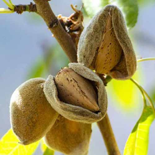 A close up of almonds ripening on the branch of a tree, with the husks just starting to open up to reveal the nut inside.