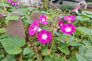 15 of the Best Common Morning Glory Varieties for Home Gardeners