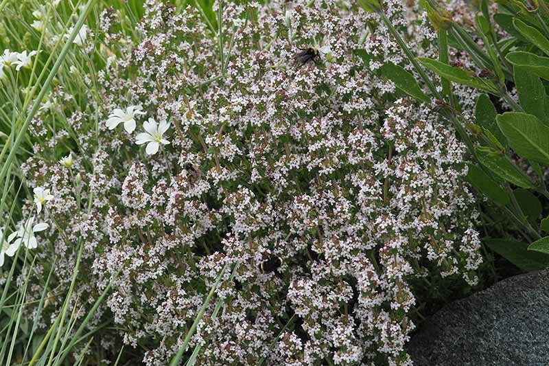 A close up of the delicate flowers of thyme growing in the garden.