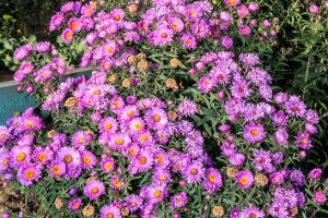 21 Tips for Managing Perennial Asters in the Garden