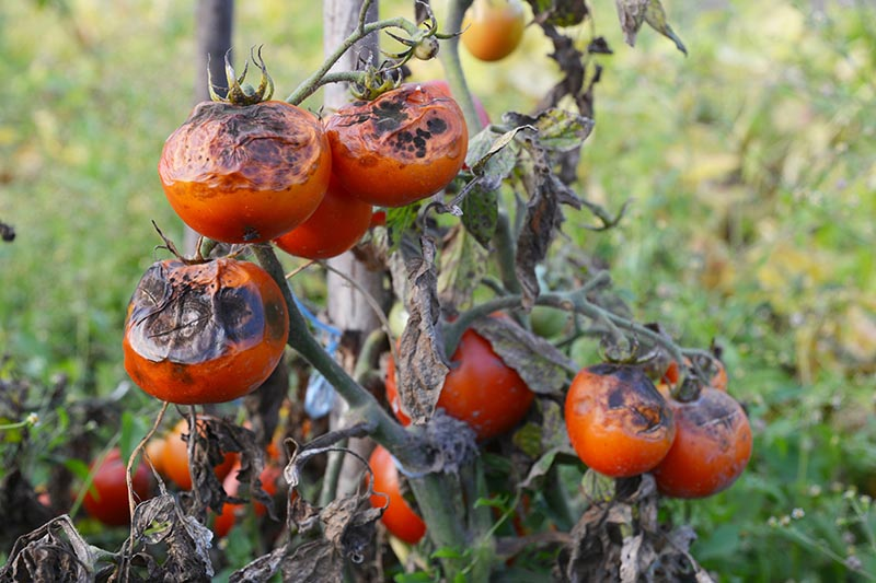 A close up of tomatoes suffering from late blight that causes dark brown and black rotten sections of fruit.