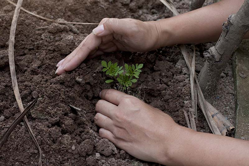A close up of two hands from the right of the frame placing a seedling into soil in a raised garden bed.