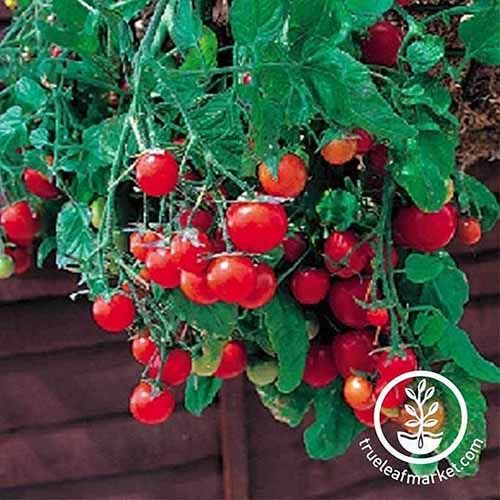 A close up of a plant full of ripe, red cherry tomatoes of the 'Tumbling Tom Red' cultivar, pictured growing in the garden, with a wooden fence in the background, in bright sunshine. To the bottom right of the frame is a white circular logo with text.
