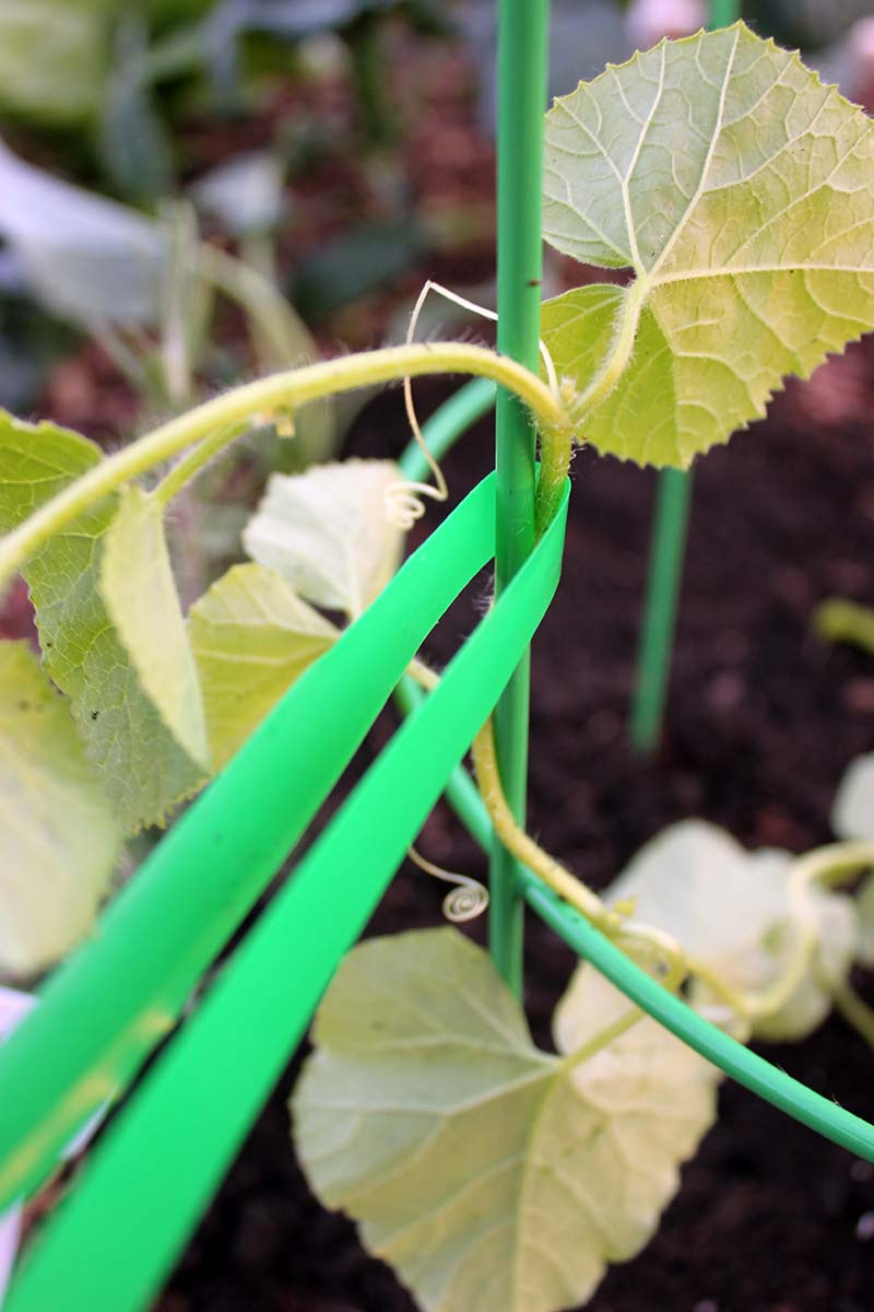 A close up of a length of green stretch tie, to demonstrate how to attach a vining plant to a metal trellis.