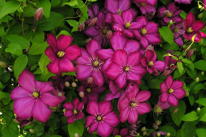 A close up of bright pink 'Ville de Lyon' clematis flowers, with carmine margins and gold colored stamens. Pictured in the garden, surrounded by foliage.