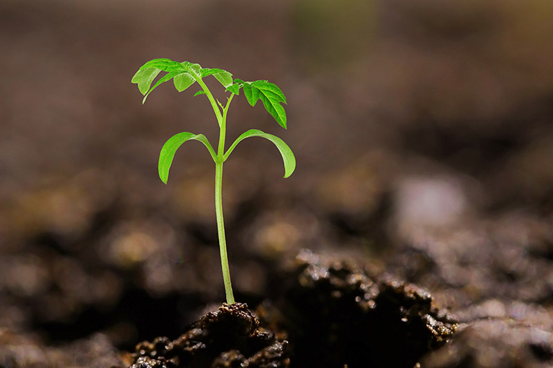 A close up of a tiny volunteer tomato seedling growing in dark, rich soil, on a soft focus background.