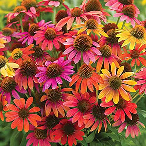 A close up of the bright orange, pink, and red flowers of Echinacea purpurea 'Warm Summer,' growing in the garden on a soft focus background.