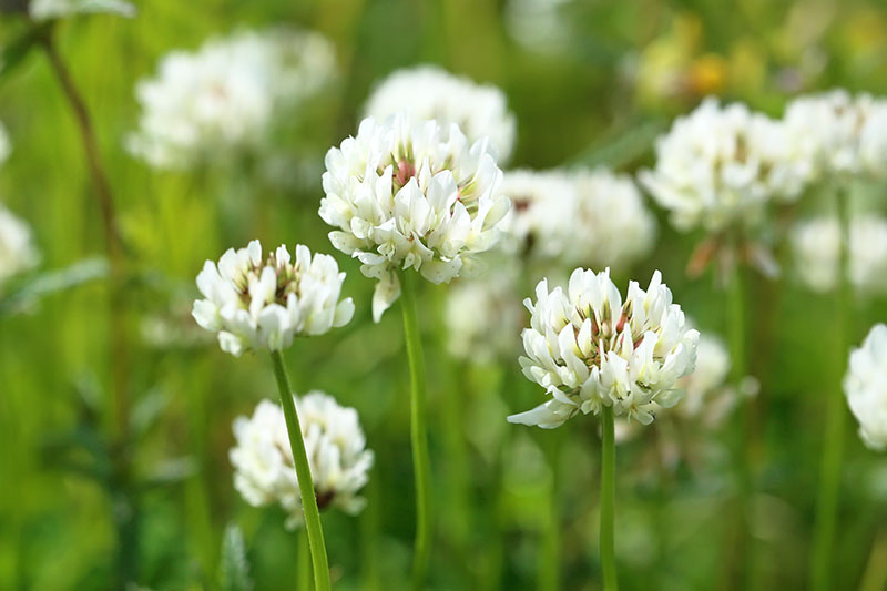 A close up of the delicate flowers of white clover growing as a cover crop in a meadow, fading to soft focus in the background.