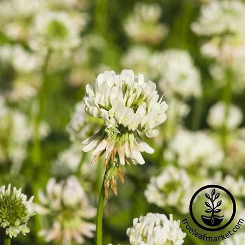 A close up of the delicate flower of white Dutch clover, growing in the garden as a cover crop, fading to soft focus in the background. To the bottom right of the frame is a black circular logo with text.