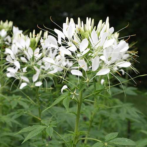 A close up of a white spider flower, C. hassleriana 'White Queen' growing in the garden, with dark green foliage, pictured on a soft focus background.