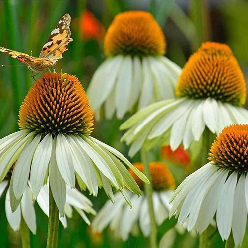 A close up of the delicate white flowers of Echinacea purpurea 'White Swan' growing in the garden, with a butterfly to the left of the frame, on a soft focus background.