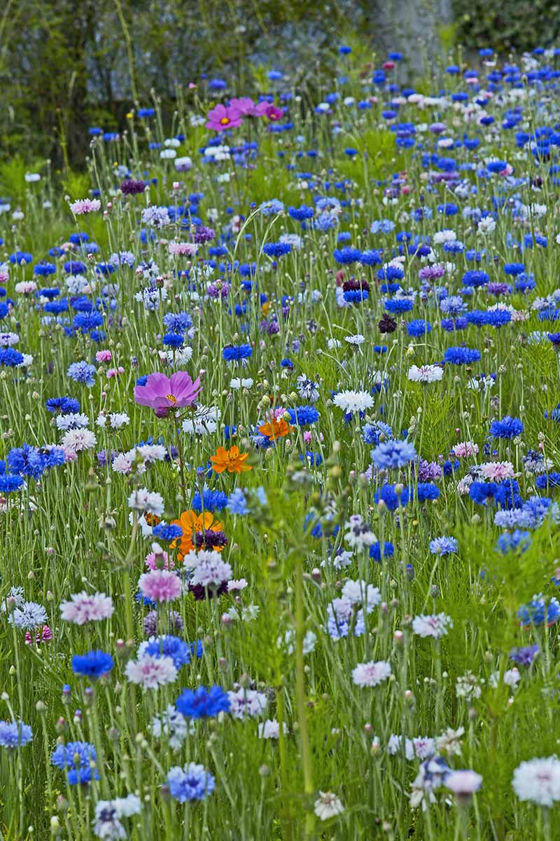 A vertical picture of a meadow blooming with different colored wildflowers on a summer day.