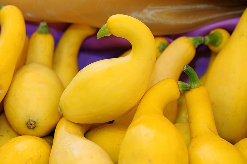 A close up of yellow crookneck squash placed in a basket.