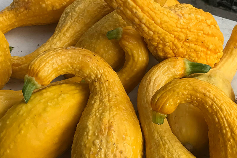 A close up of yellow crookneck squash, freshly harvested from the garden and set on a white surface.