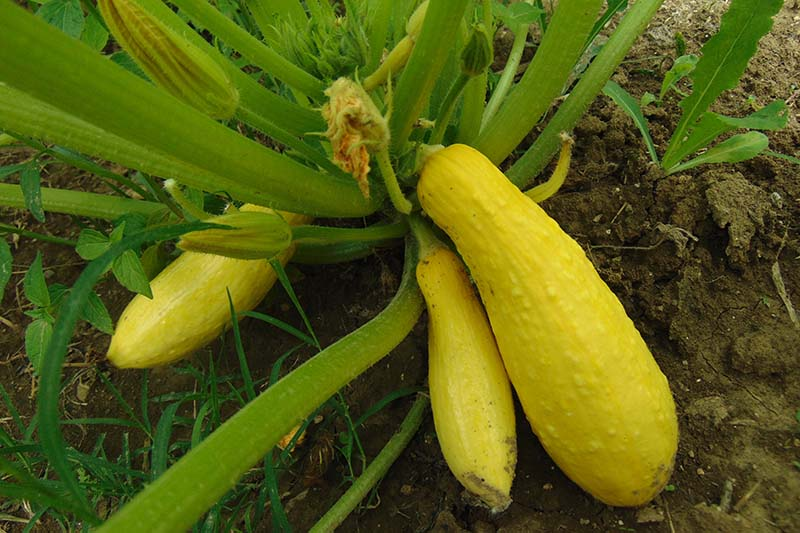 A close up of yellow summer squash growing in the garden with stalks and soil in the background.