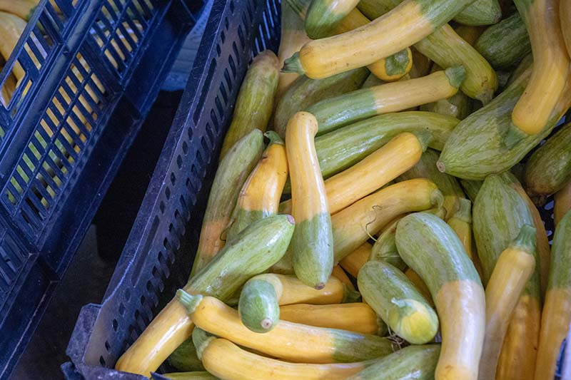 A close up of a blue plastic crate filled with 'Zephyr' zucchini that has half yellow and half green skin.
