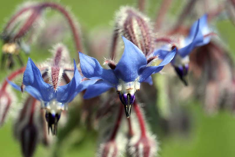 A close up of a Borago officinalis in full bloom with blue, star-shaped flowers and reddish stems, pictured on a soft focus background.