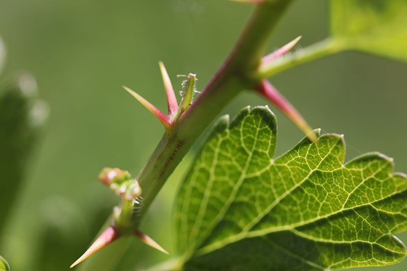 A close up of the spines on the branch of Ribes uva-crispa, pictured on a soft focus background.