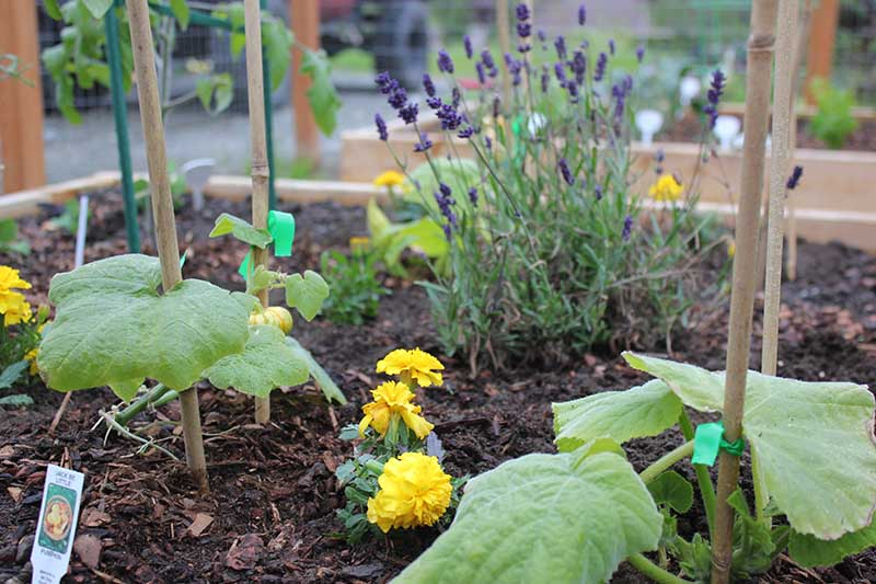 A close up of a raised garden bed showing gourds growing among marigolds and lavender for mutual benefit.