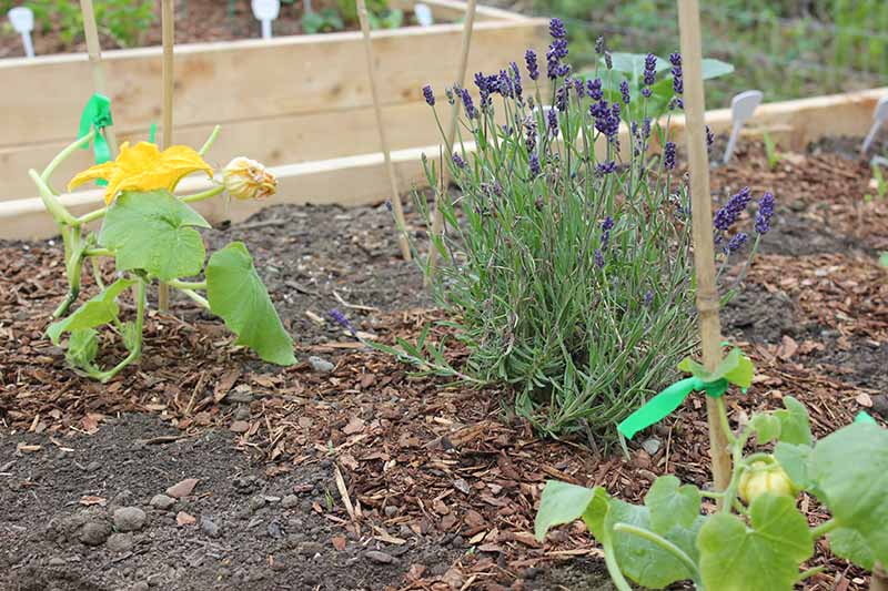 A close up of a section of a raised garden bed with lavender growing among the pumpkin vines to attract pollinators.