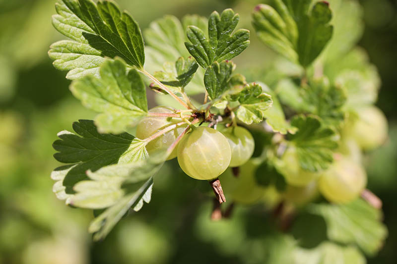 A close up of green, immature gooseberries, in light sunshine, surrounded by foliage on a soft focus background.