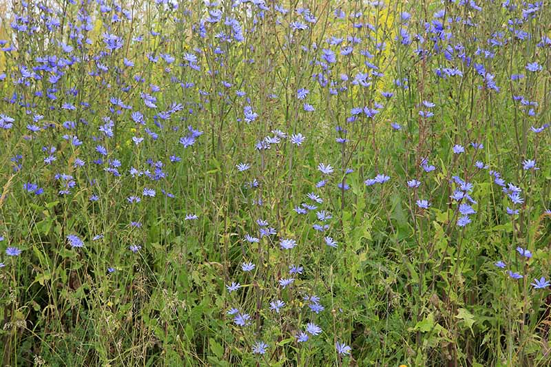 A meadow of wild Cichorium intybus growing in light sunshine with bright blue flowers atop long stalks.