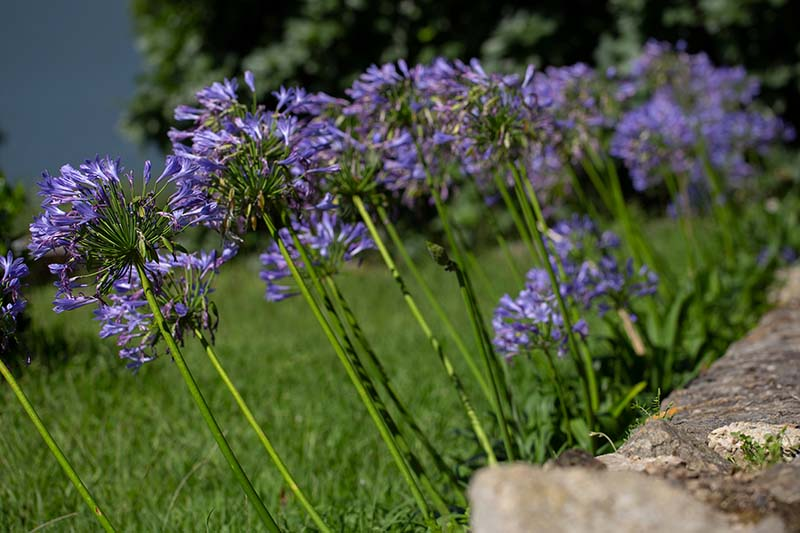A close up horizontal image of purple flowers growing in the garden next to a stone wall with a lawn in soft focus in the background.