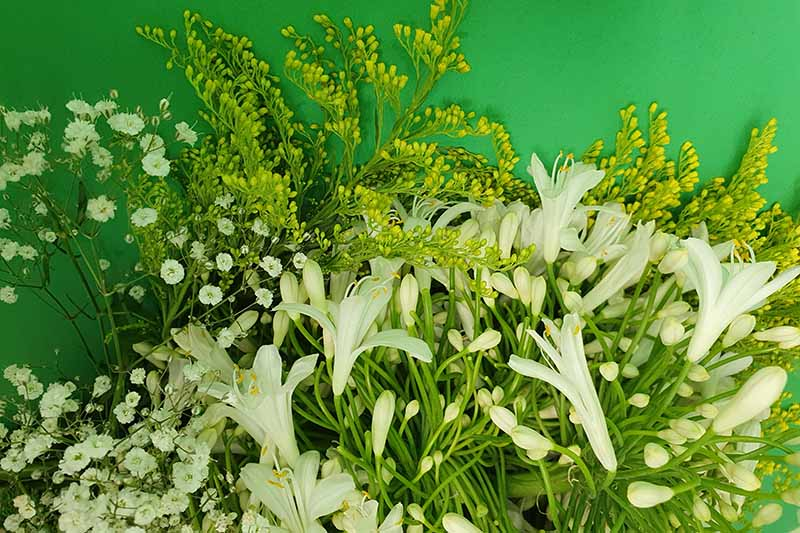 A close up of freshly cut, white agapanthus flowers on a green soft focus background.