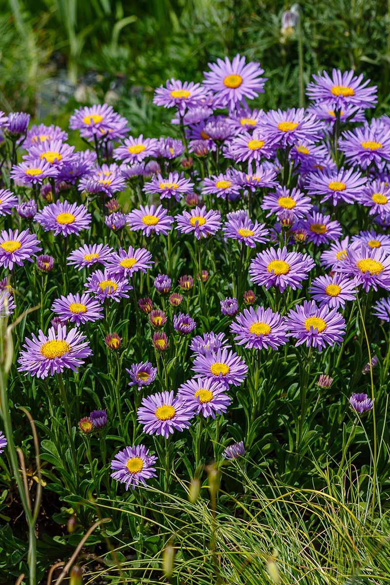 A vertical close up picture of bright purple alpine asters growing in the summer garden, with foliage in soft focus in the background.