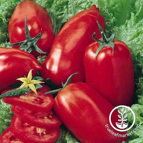 A close up of 'Amish Paste' tomatoes, freshly harvested and set on lettuce leaves. To the bottom right of the frame is a white circular logo with text.