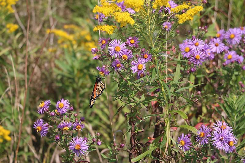 A close up of a butterfly landing on a purple perennial aster growing in the late summer garden, pictured in light sunshine with foliage in soft focus in the background.