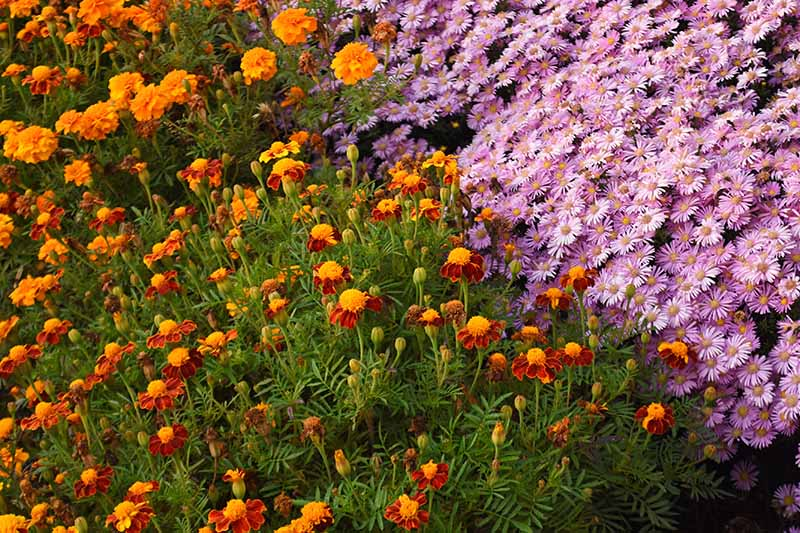 A close up of pink perennial asters growing next to marigolds in the late summer garden.