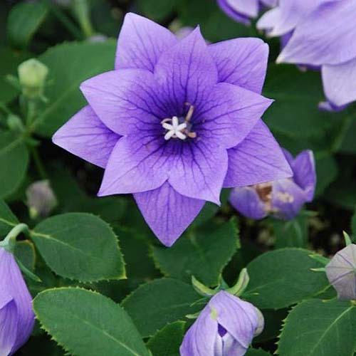 A close up of Platycodon grandiflorus 'Astra Double' growing in the garden, surrounded by foliage in soft focus.